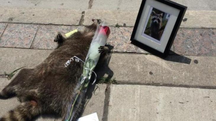 dead-racoon-toronto