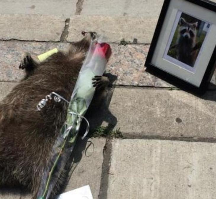 dead-raccoon-toronto
